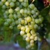 Виноград плодовый Бианка