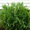 Бамбук карликовый