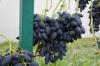 Виноград плодовый Викинг