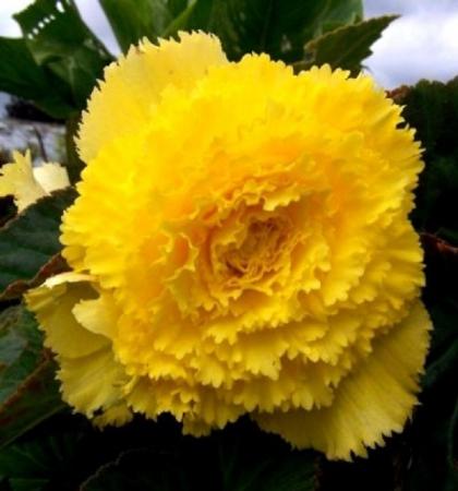 Бегония бахромчатая желтая Yellow