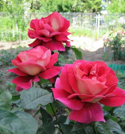 Роза чайно-гибридная Кроненбург