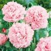 Мак пионовидный Молочно-розовый