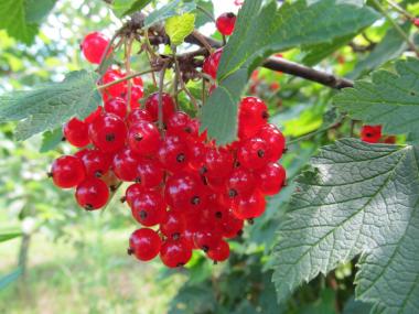 Смородина красная традиционные сорта Натали