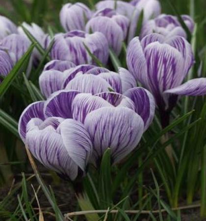 Крокус крупноцветковый Кинг оф Стрипт