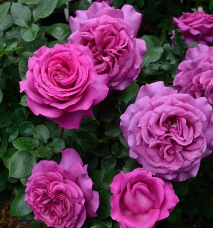Роза чайно-гибридная Шартрёз дэ Парм