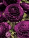 Ранункулюс Цветущая долина фиолетовая F1