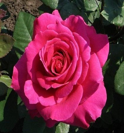 Роза чайно-гибридная Шакира