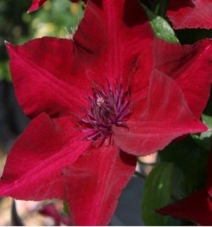 Клематис крупноцветковый (капер) Перида