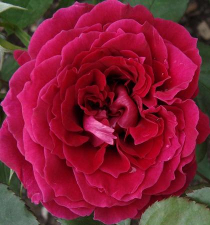 Роза парковая Дино де Лаурентис
