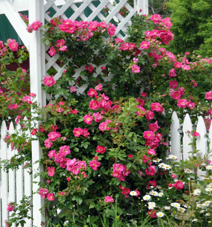Роза канадская плетистая Вильям Баффин
