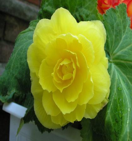 Бегония махровая желтая / Begonia dbl yellow