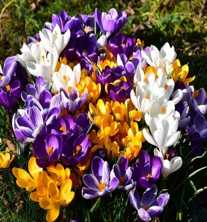 Крокусы крупноцветковые   Весенняя палитра смесь окрасок (50 шт.)