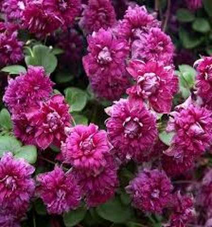 Клематис ботанический (капер) Пурпуреа Плена Элеганс