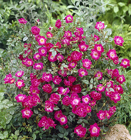 Роза миниатюрная Литл Бакару