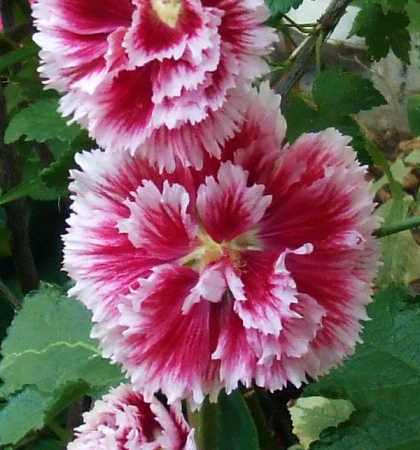 Мальва розовая Фиеста Тайм