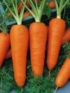 Морковь Шантенэ 2461(ч/б)