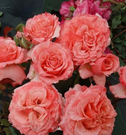 Роза парковая Лоран Каброль