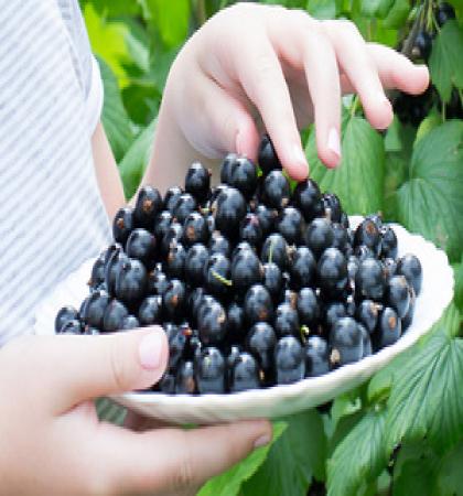 Смородина черная традиционные сорта Валовая
