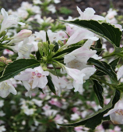 Клематис крупноцветковый Комтис де Бушо (капер)