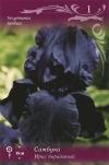 Ирис бородатый Самбука