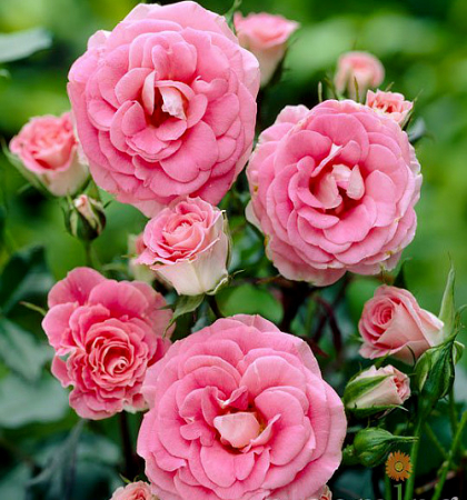 Роза флорибунда Том Том