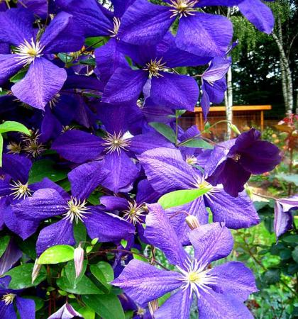 Клематис крупноцветковый Жакмани