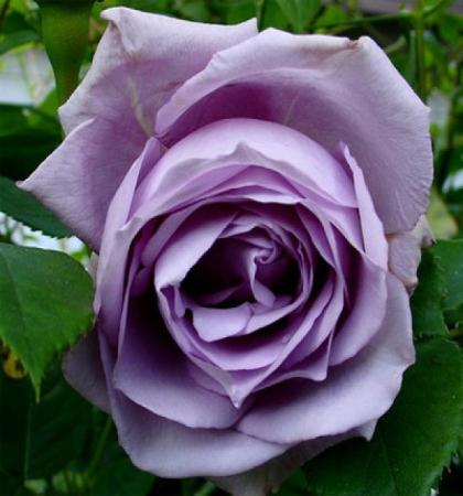 Роза плетистая Клайминг Блю Мун