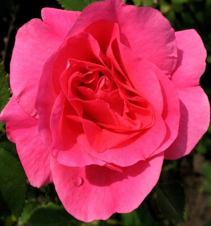 Роза канадская парковая Модэн Сентенниал