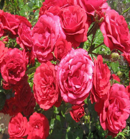 Роза флорибунда Стромболи