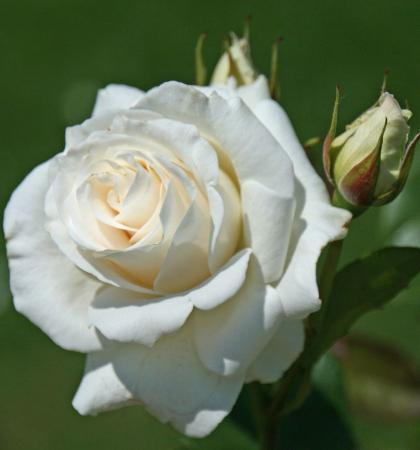Роза чайно-гибридная Паскаль