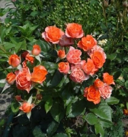 Роза спрей (миниатюрная) Алегрия