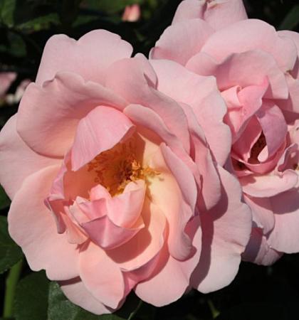 Роза парковая Мархенланд