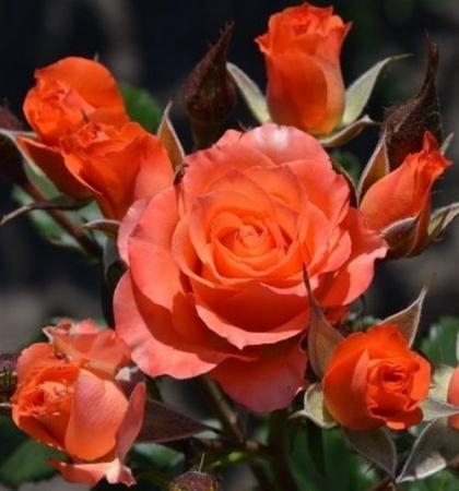 Роза миниатюрная Алегрия