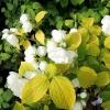 Жасмин садовый (Чубушник) Йеллоу Хилл