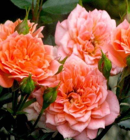 Роза миниатюрная Нинетта
