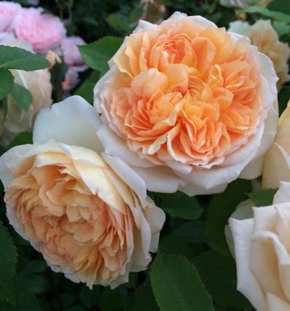 Роза английская парковая Батшеба
