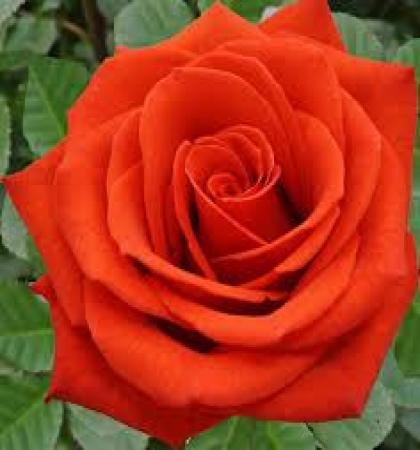 Роза чайно-гибридная Сантана
