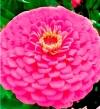 Цинния георгиноцветковая Мечта