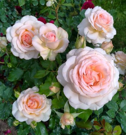 Роза чайно-гибридная Чандос Бьюти