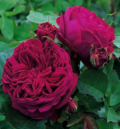 Роза английская парковая  Фальстаф