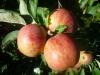 Яблоня колонновидная Червонец