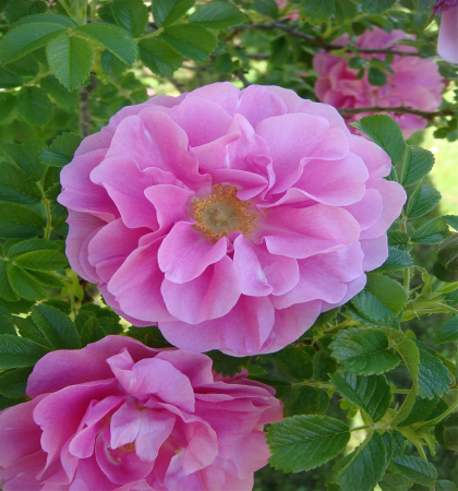 Роза канадская парковая Свит Аделин