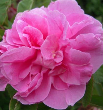 Роза канадская парковая Тереза Багнет