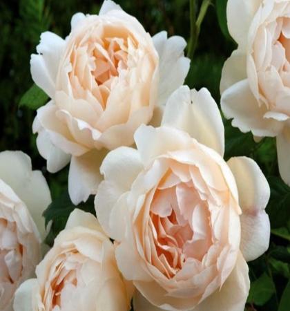 Роза английская парковая Воллертон Олд Холл