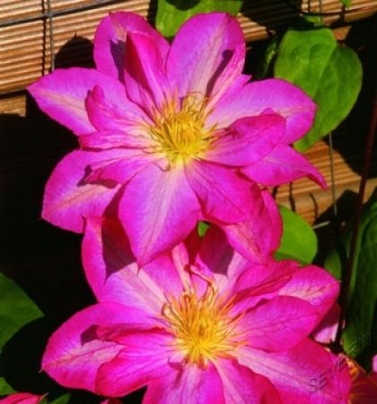 Клематис крупноцветковый Асао