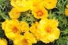 Портулак крупноцветковый Солнечная страна Золотой