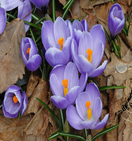 Крокус крупноцветковый Квин оф Блюз