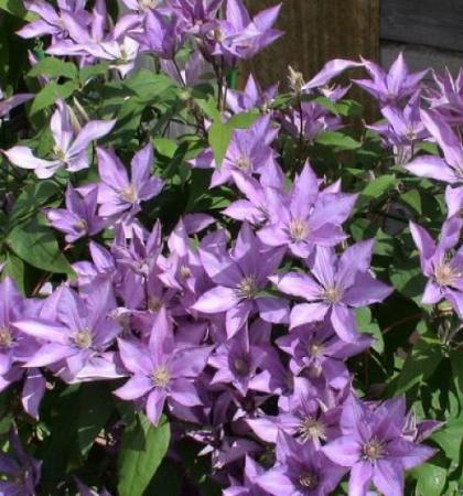 Клематис крупноцветковый Багатель (капер)