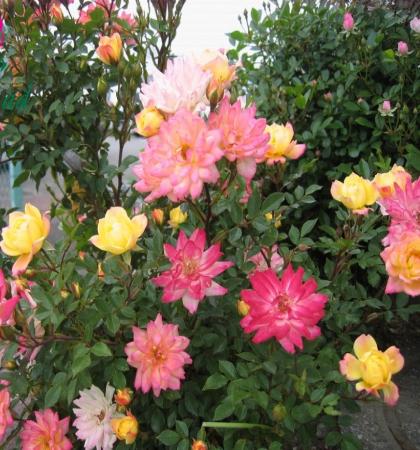 Роза миниатюрная Бэби Маскарад