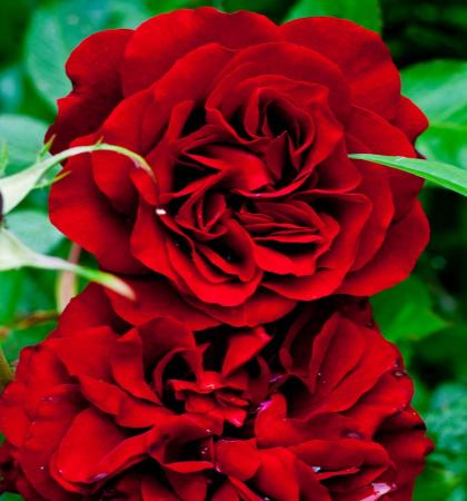 Роза парковая Изабель Ренессанс